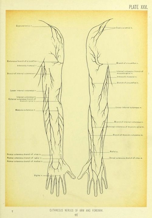 Plate Xxv Cutaneous Nerves Of Arm And Forearm Surgical Anatomy A