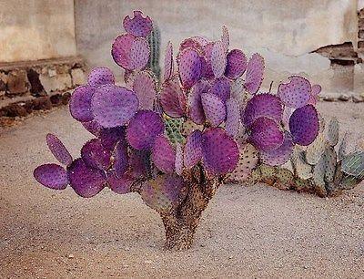 Opuntia-Violacea-Santa-Rita-Kaktus-Pflanzen-Samen-Violet-Feigenkaktus-Thunfisch  #desertplant... #cactusplant