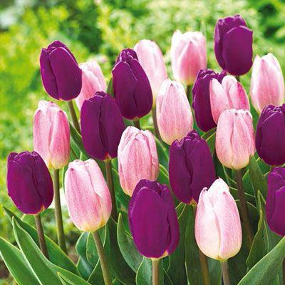 Pin By Laurel Jordan On Love Bulb Flowers Tulips Tulip Bulbs For Sale