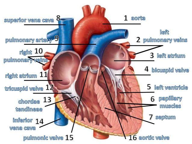 Heart Anatomy Heart Pinterest Heart