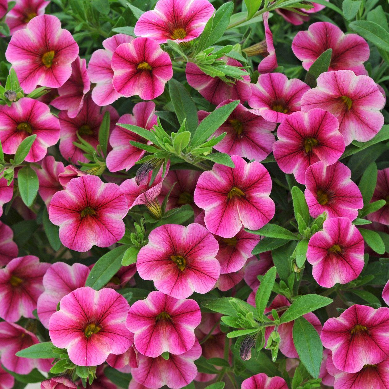 petunia can can rose star calibrachoa granny 39 s plant sale annuals pinterest petunias. Black Bedroom Furniture Sets. Home Design Ideas