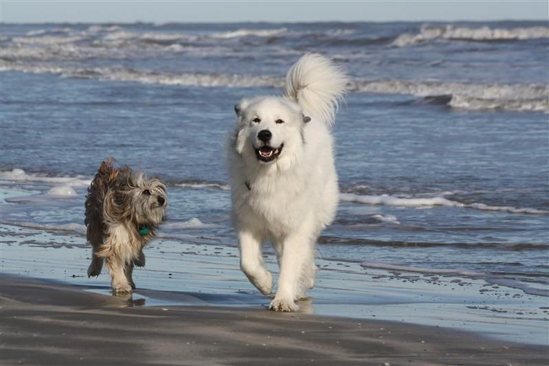 Pyrenean Shepherd and Great Pyrenees   Great pyrenees ...