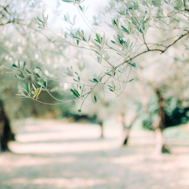 Yes, olive trees in Italy...how can one resist? • • • #weddingphotographeritaly #weddingphotographertuscany #hääkuvaajaitalia #hääkuvaajatoskana #häävalokuvaajaitaliassa #chianti
