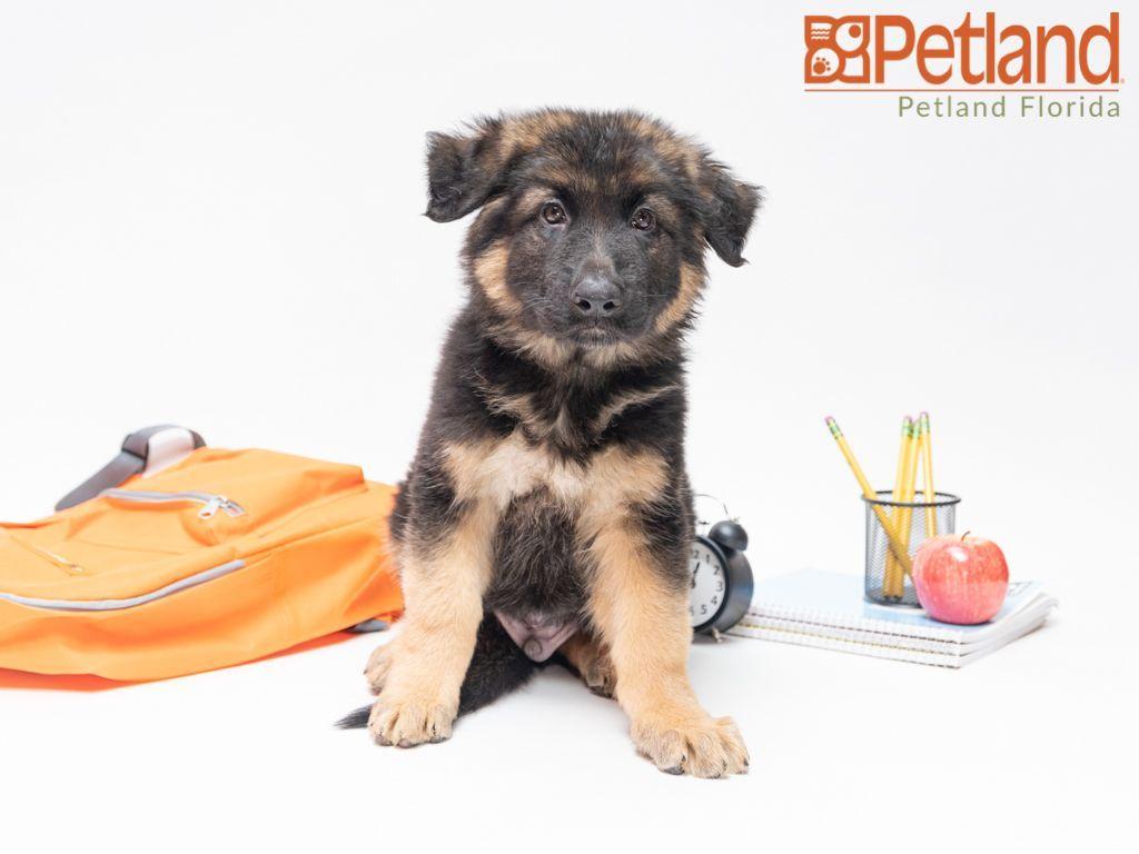 Puppies for sale puppies shepherd puppies dog lovers