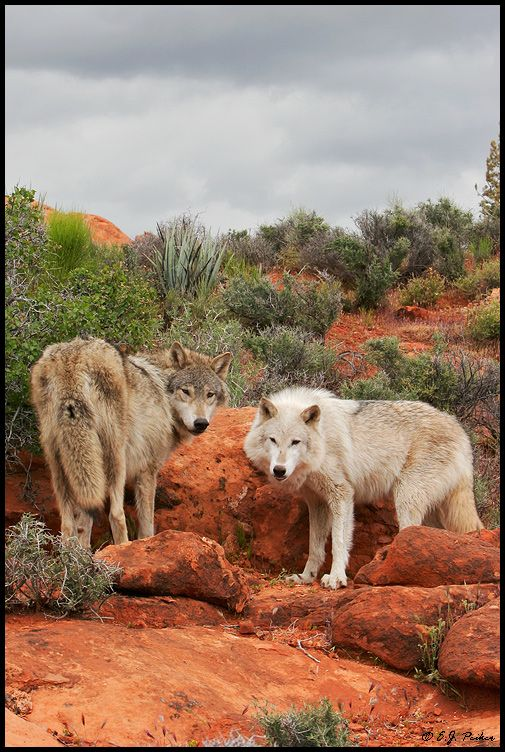 Wolf photos by E J Peiker. Thirty more wonderful shots of wolves if you click on the picture!