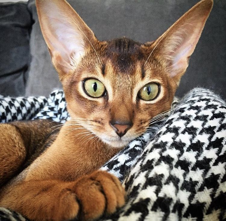 Abyssinian Cat Female Jasmine Catsbreedsabyssinian With Images