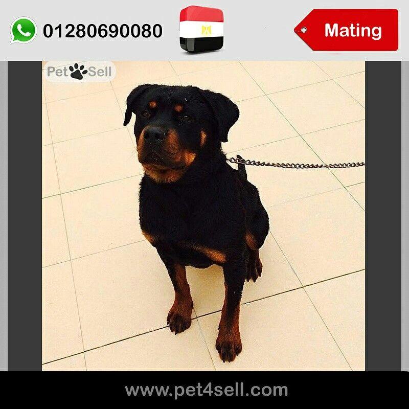 Egypt Cairo Mating German Rottweiler Champion Blood Line