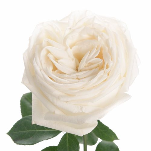 ivory white garden rose jeanne moreau 350 72 stems for 19999