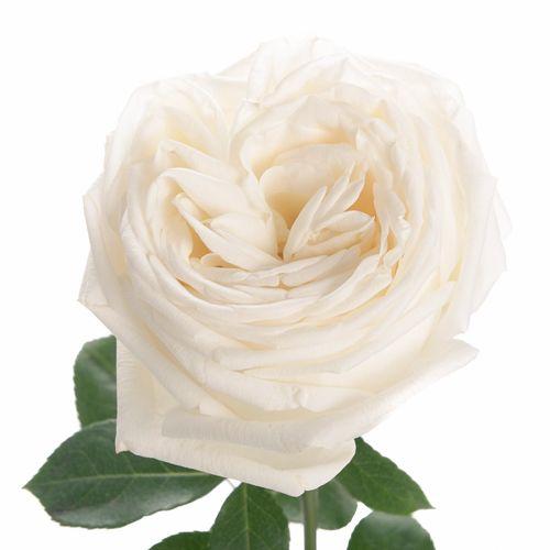 White Patience Garden Rose true white garden roses | white gardens, garden roses and wedding