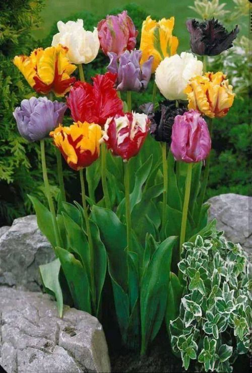 Learn To Live Love Laugh And Enjoy Family Tulips Flowers Beautiful Flowers Flower Garden