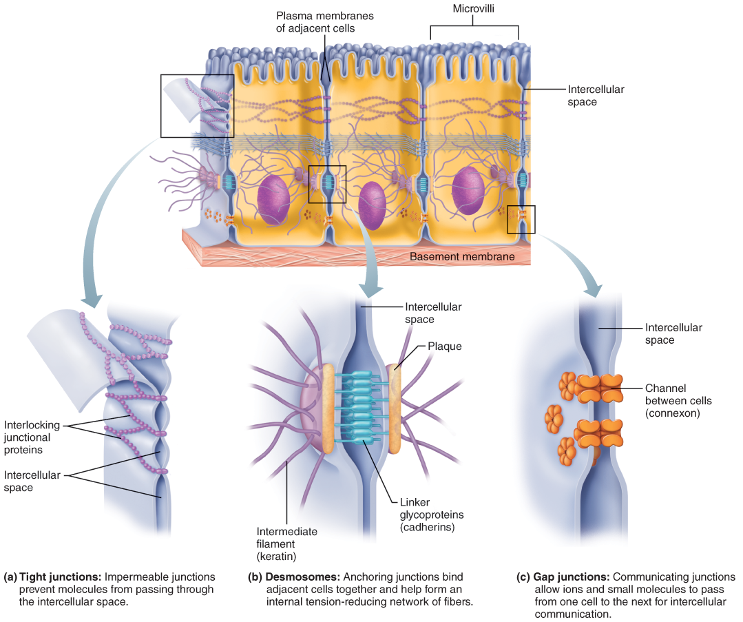 I. Epithelial Tissue (With images) | Gap junction, Tight junction ...