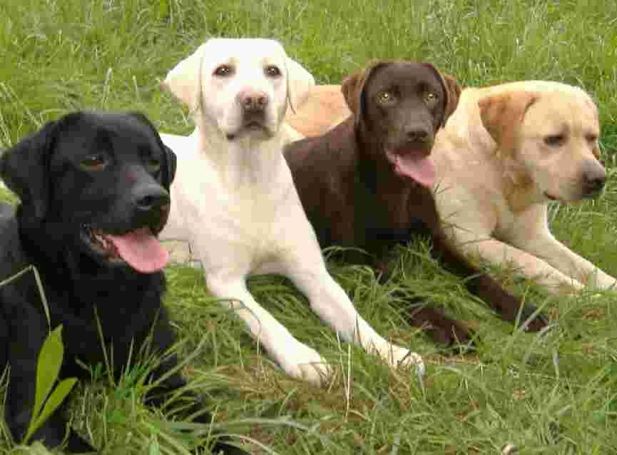 Labrador Family Says Hello Black White Chocolate And Golden