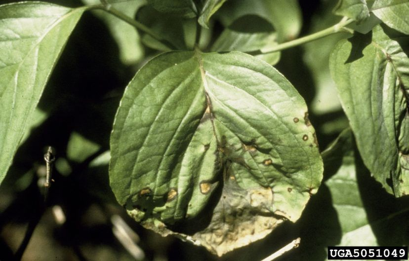 Dogwood Diseases & Insect Pests (With images) Dogwood