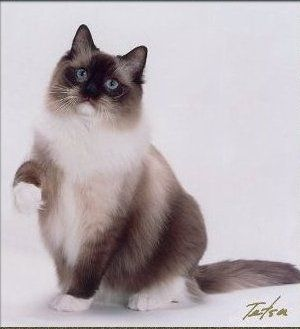 Google Image Result For Http Www Rfwclub Org Colors Spm Jpg Ragdoll Cat Cats And Kittens Crazy Cats