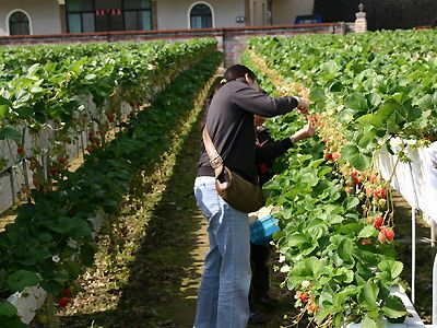 Advantages Of Elevated Strawberry Bed Farming Strawberry
