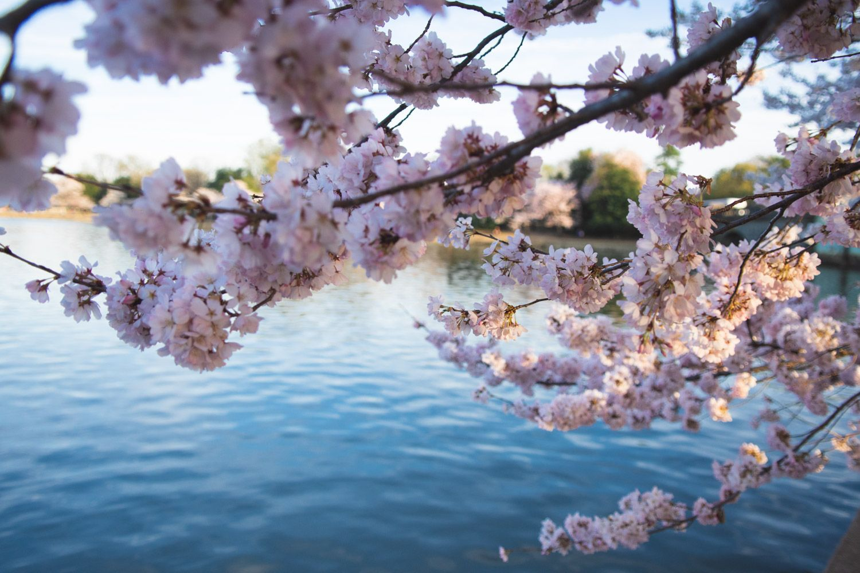 The 2021 Guide To Washington Dc Cherry Blossom Peak Bloom Cherry Blossom Washington Dc Cherry Blossom Cherry Blossom Festival