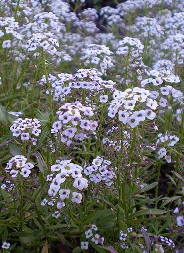L 39 alysse odorante une fleur facile cultiver articles - Plantes d int u00e9rieur faciles d entretien ...