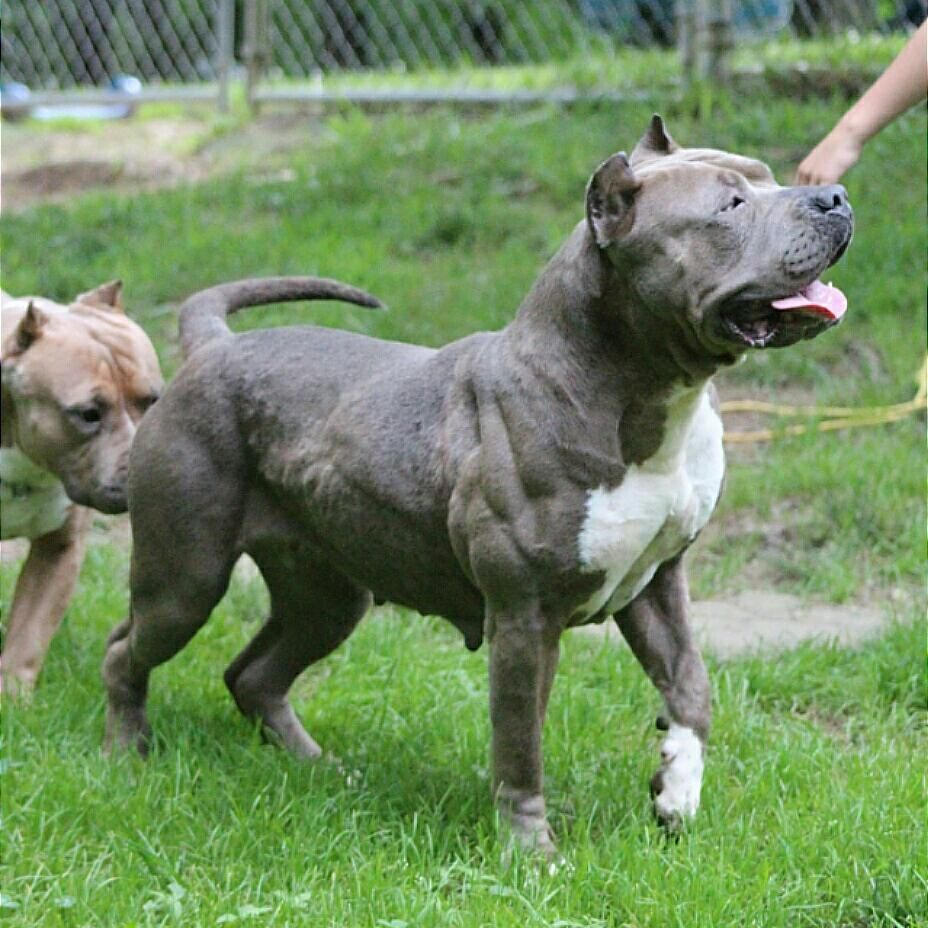Best Xl Female In The South Next Levels Asia Nextlevelpits Nlp Muscle Goinghard Blue Xlpitbull Xlbully Americanb Xl Pitbull Pitbulls American Bully