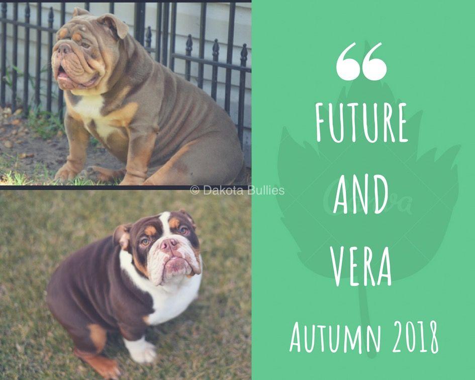 Pin By Dakota Bullies On Our Current English Bulldog Puppy Litter