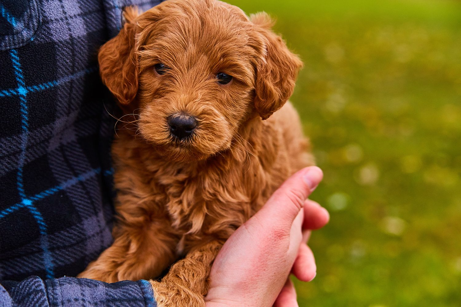 This F1b Mini Golden Doodle is so fluffy! You just want to