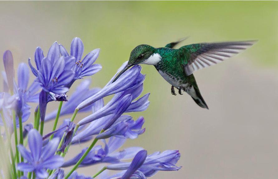 flores e beijaflores Primavera Jardim azul, Beija flor