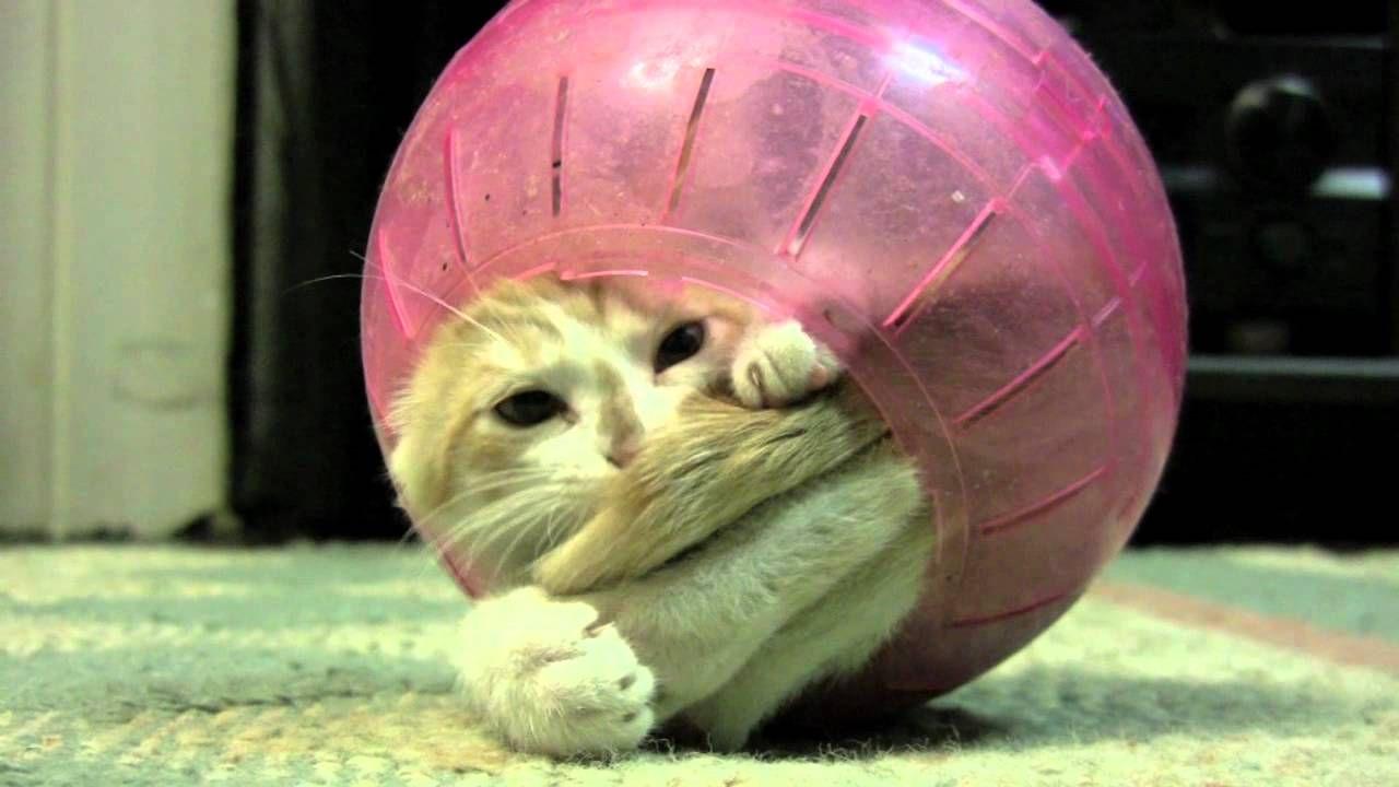 Kitten Has A Ball Best Cat Gifs Crazy Cats Silly Cats