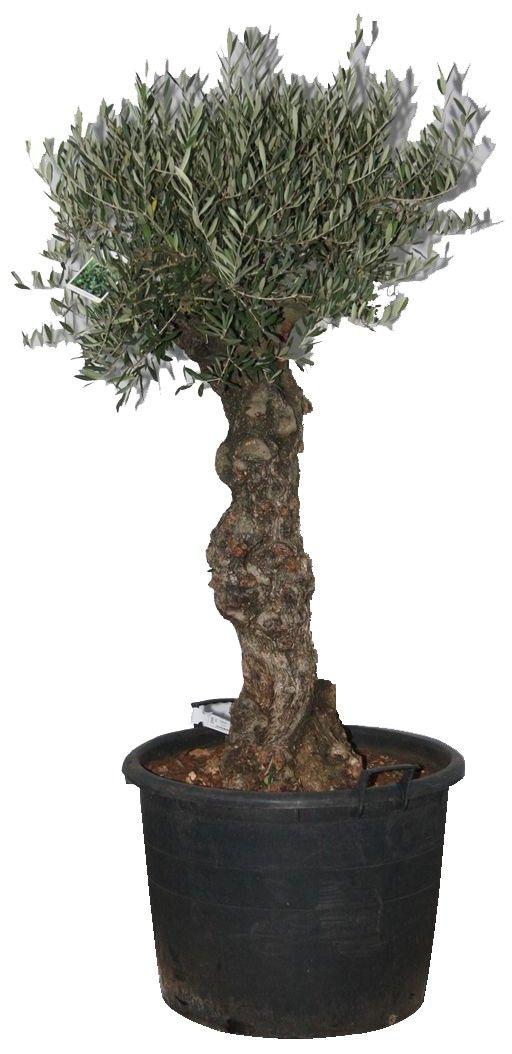 olijfboom - Google zoeken