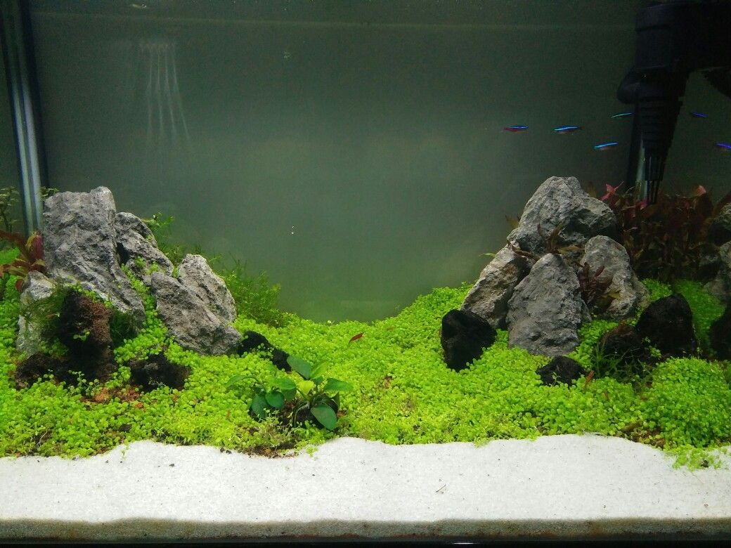 Iwagumi style aquascaping with mini dwarf carpet seed - the first