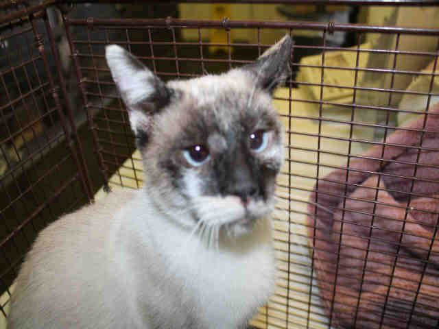 petharbor com id a1741977 2 yr old female siamese available at