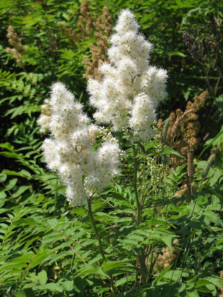 Sorbaria Sorbifolia Sem Sem Ural False Spirea White Flowers In