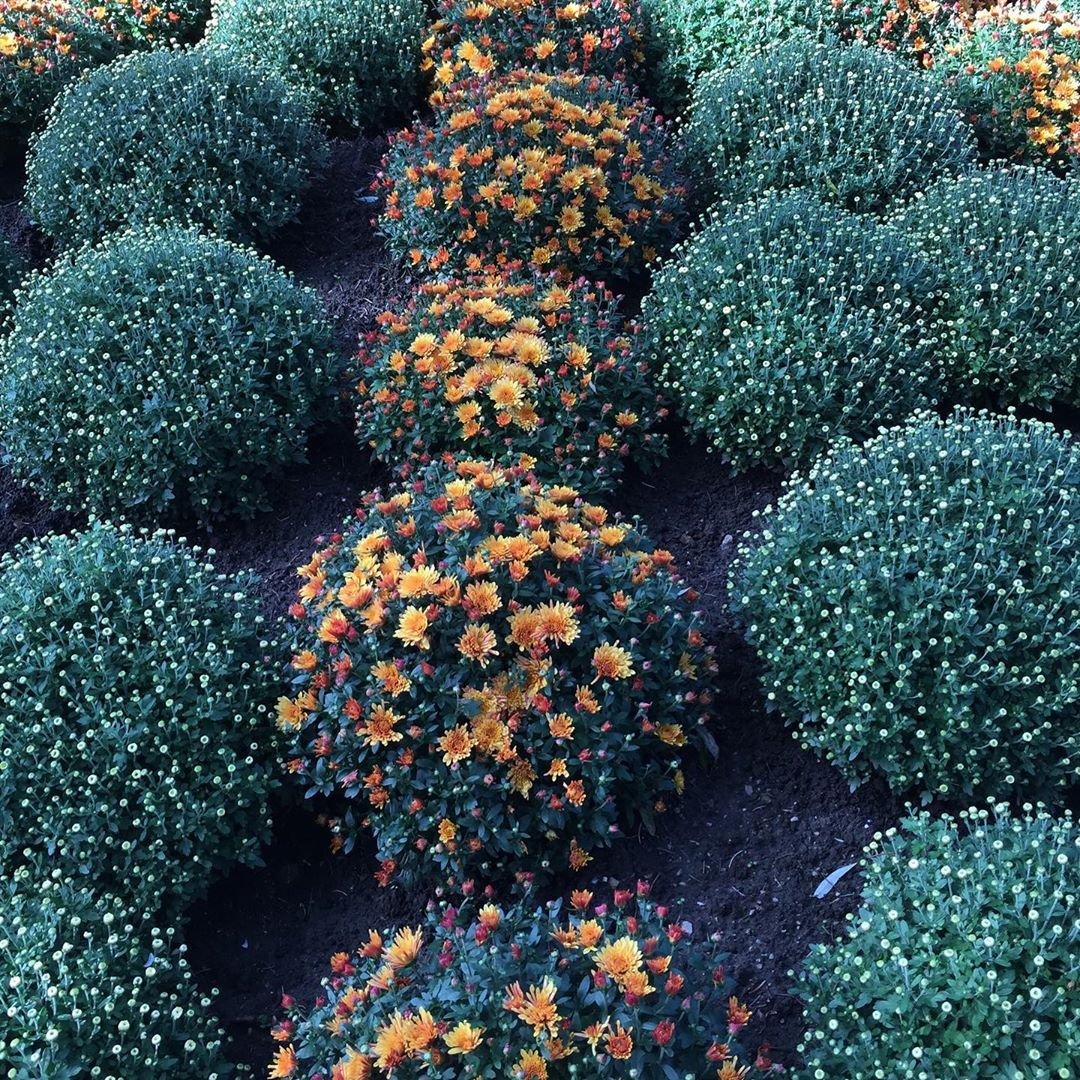 Chrysanthemums Are Native To Asia And Europe And Are Perennials