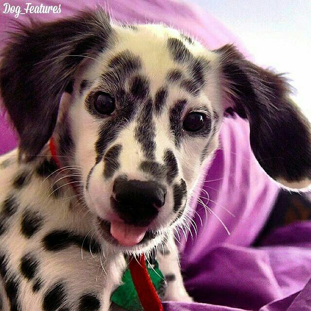 Mini Dalmatian Longhair Dog Daycare Pet Daycare Cat Furry