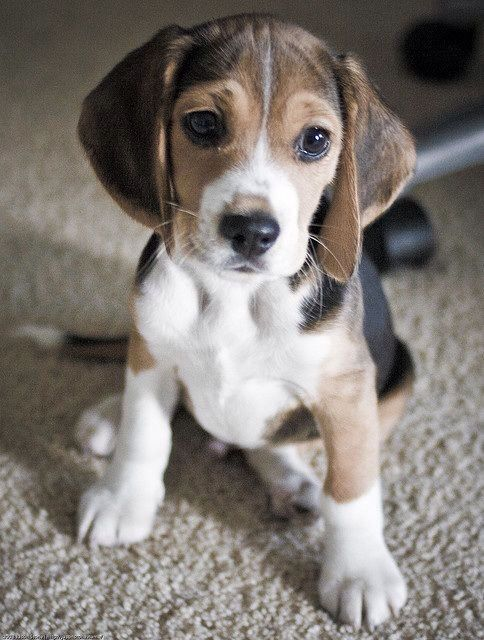 Beagle Puppy And A Bischon And You Have Got The Best Lil Thing In