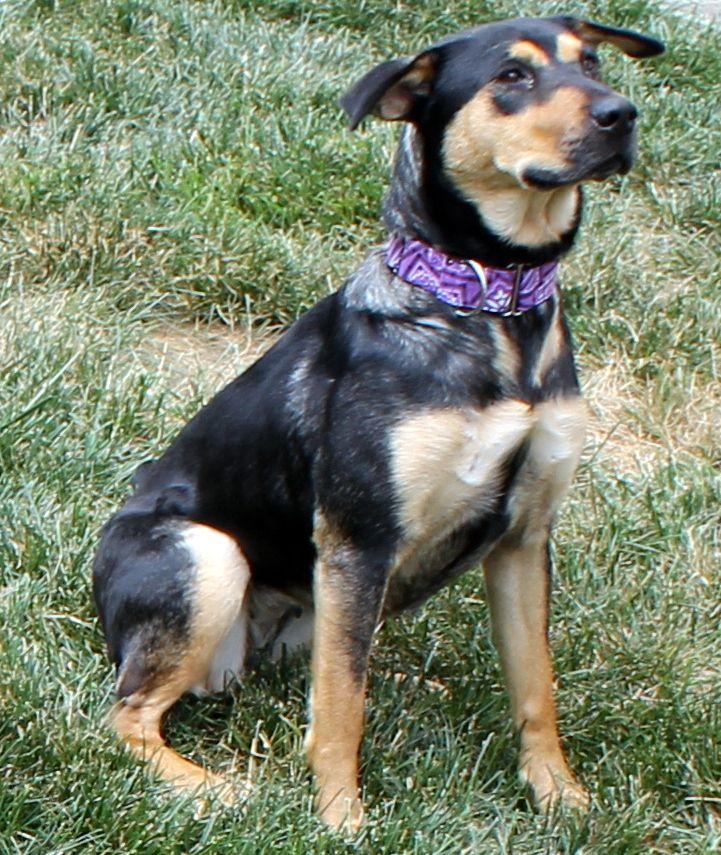 Sasha The Beagle German Shepherd Mix Beagle Mix Beagle Beagle Dog