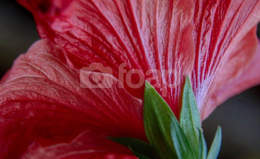 Hibiscus Flower This stock photo of Close up shot of a red hibiscus flower photographed by Michael P Moriarty was uploaded by photographer msqrd2 on 21 March 2014.