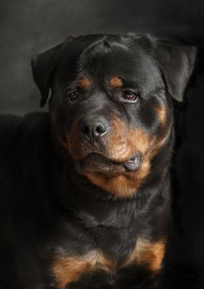 Rottweiler Dog Dog Breeds Dogs Rottweiler