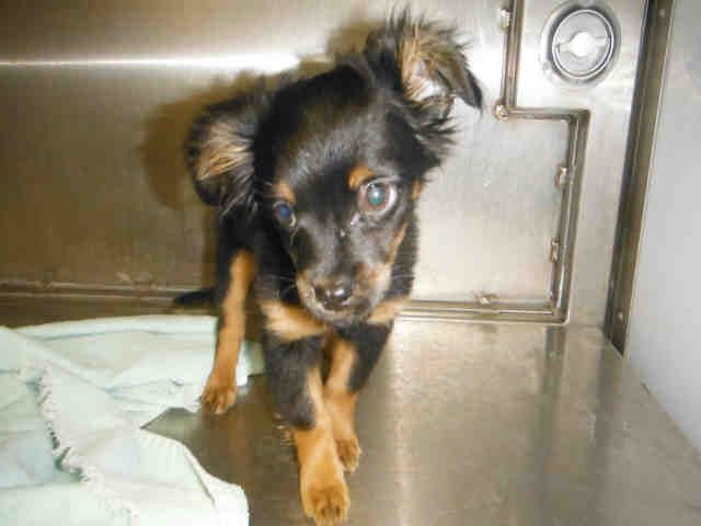 Mitchell 3 Manchester Terrier Papillon Mix Baby Male