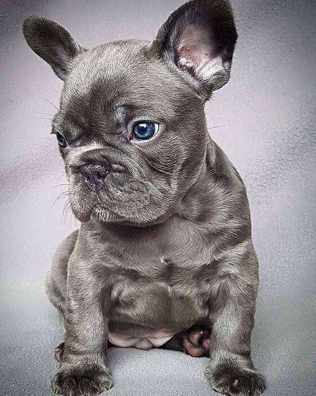 LED Pet Collar Blue / L Bulldog puppies, Cute puppies
