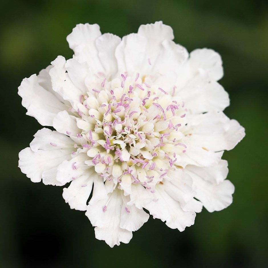 Buy Pincushion Flower Scabiosa Incisa Kudo White Delivery By