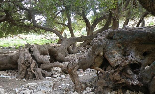 متنزهون يحرقون جزءا من شجرة عمرها 800 عام في الأغوار Tree Hundred Years Old Old Tree