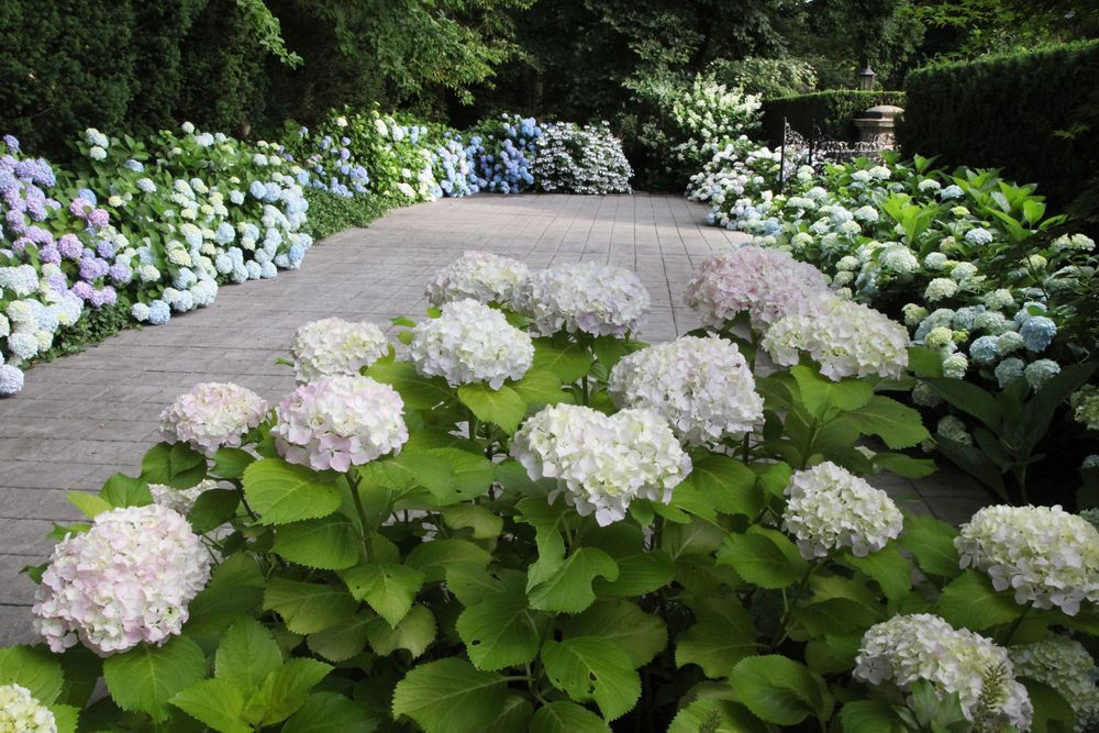 Landscaping With Hydrangeas Garden With Endless Summer Limelight Hydrangea And Agastache Blue Hydrangea Landscaping Hydrangea Garden Limelight Hydrangea
