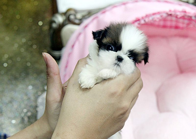 Miami Herald Classifieds Dogs Shihtzu Puppies Teacup Breeds