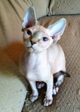 Reduced Prices Tica Sphynx Kittens For Sale Crazy Cats Rex Cat I Love Cats