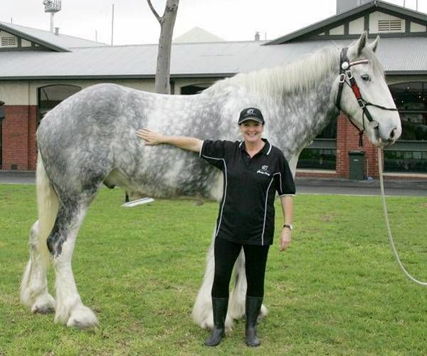 Luscombe Nodram, (Noddy). Bred by the Shires of Luscombe in Queensland, Australia. His sire is the grey, Luscombe What's Wanted and his dam is the black, Cedars Annabella. Both stand 18 hands. Noddy's great great grandsire, Ladbrook Invader, was also tall. In 1981 he was in the Guinness Book of World Records as the tallest living horse, standing 19.2 hands. Noddy, a gelding, is now owned by Jane Greenman of Victoria and stands 20.2hh, Australia's tallest horse.