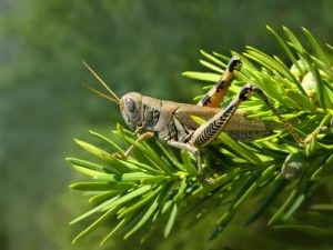 how to get rid of grasshoppers on my plants
