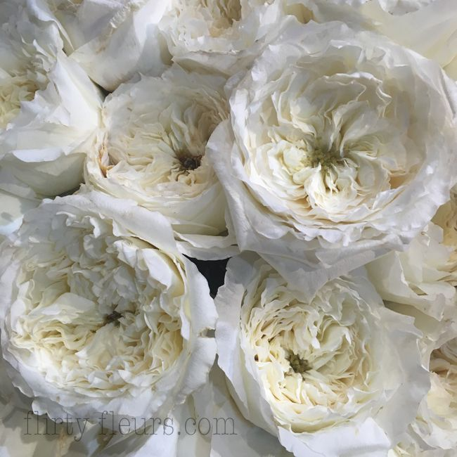 Amazing David Austin Patience White Garden Rose