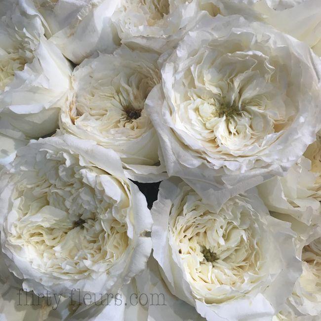 Etonnant David Austin Patience White Garden Rose
