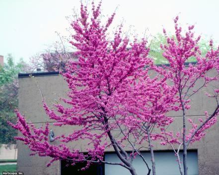 27 Flowering Trees For Year Round Color In 2021 Flowering Trees Blooming Trees Redbud Tree