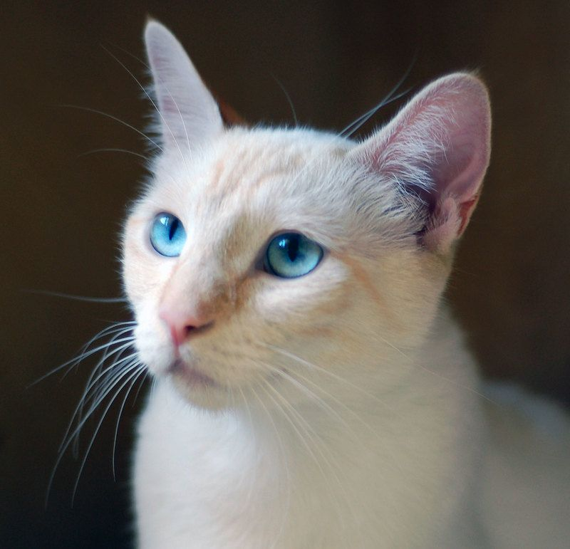 Cat ready for adoption Flame Point Siamese named Shiva in