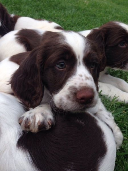 English Springer Spaniel puppies for sale Greenside
